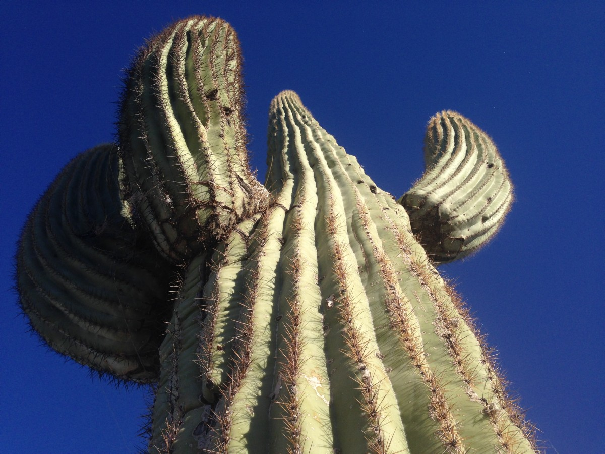 Member Art Laski submitted this imposing cactus for the 2014-15 Shoot for the Stars Contest.